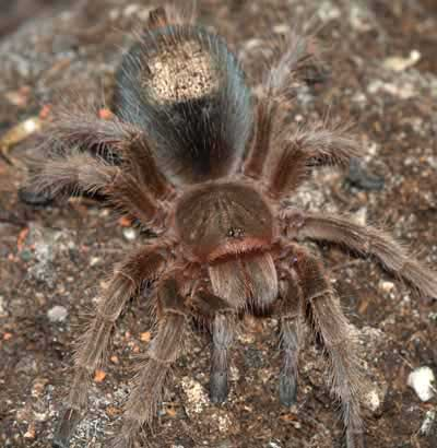 Picture of Southwest Tarantuala