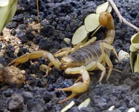 Bark Scorpion Sting How Serious Is The Sting Of A Bark