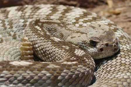 Picture of Blacktail Rattlesnake