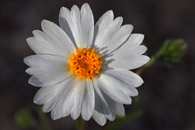 White Wooly Daisy Superstitions