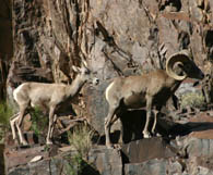 Image result for grand canyon animals
