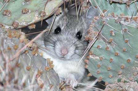 Picture of Arizona Desert Packrat